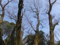 山頂 稜線の 山桜の大木 自生地 「吉備桜」