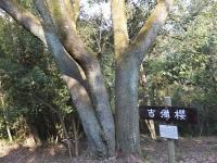 大木の山桜 自生地