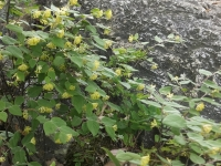 岩に咲く クロモジの花 黄色い花も木もいい香り