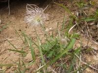 保護地帯で見かけた1株 花が終って・・・