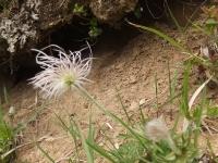 オキナグサ 花が終って、 保護地に1株だけ・・・