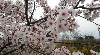 さくらの開花