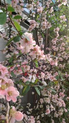 26-04 木瓜の花