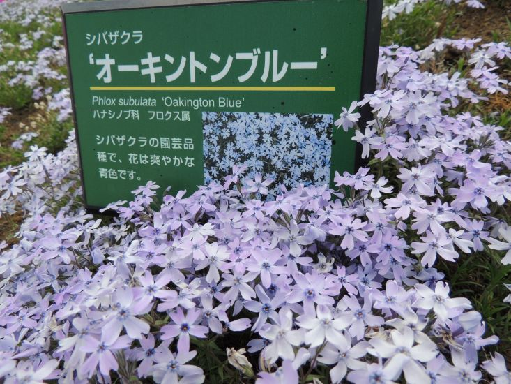 芝桜 030