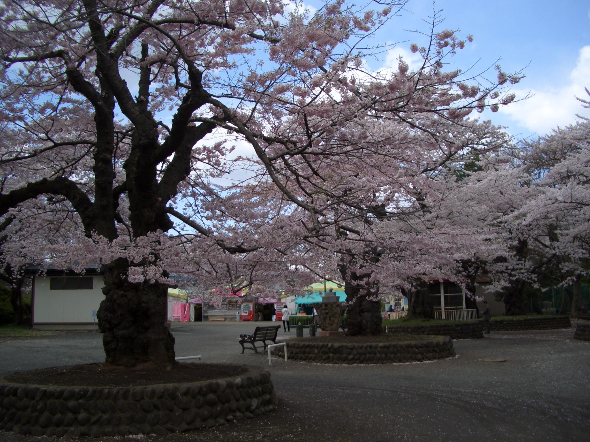 水沢公園桜
