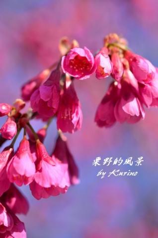 園芸公園の緋寒桜1