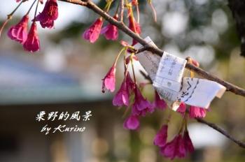 光雲神社の寒緋桜01