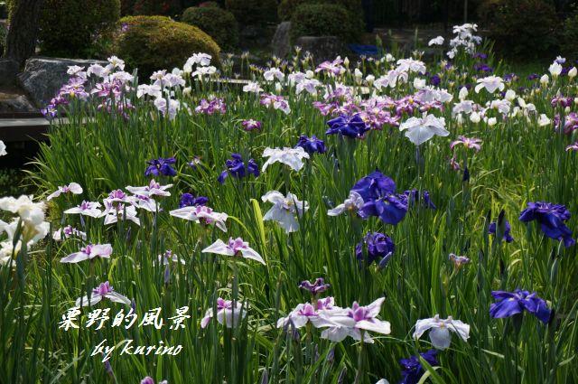 吉香公園のショウブ