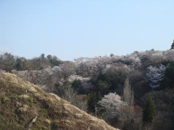 栗山の山桜