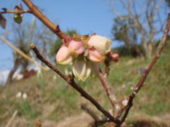 ブルーベリーの花が咲き始める