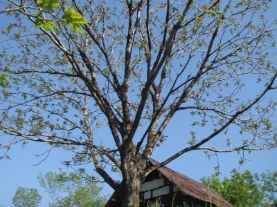クルミの大木