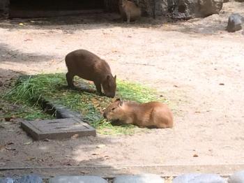 動物園のカピバラ