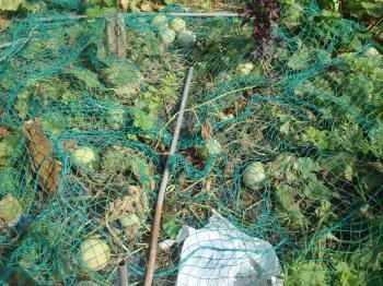 プリンスメロンの収穫