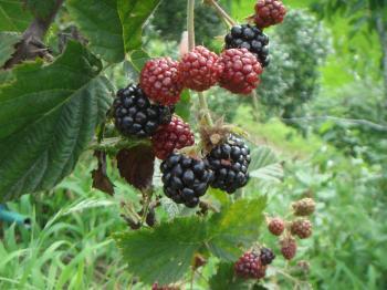 ブラックベリーの収穫