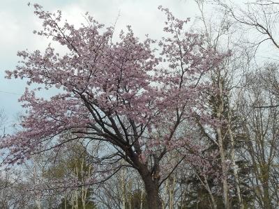 5月13日川湯の桜