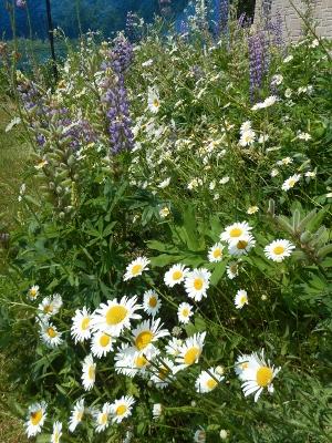 白菊のような野草