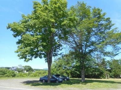 弟子屈の大木