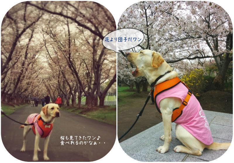 5月連休後には桜を見に行きました