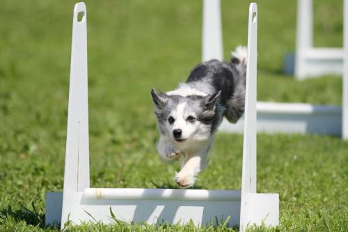Flyball_0313 小