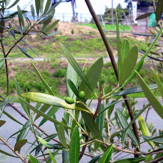 オリーブの木に可愛い実が…