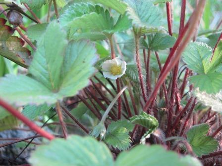 ワイルドストロベリー 花