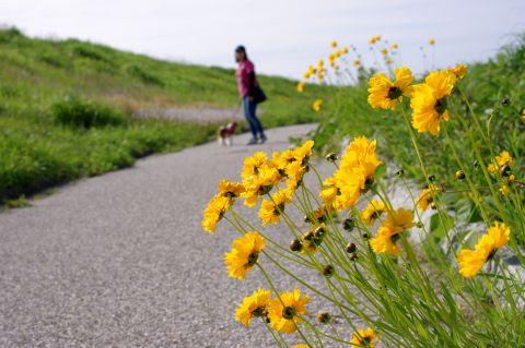 518_5黄色い花