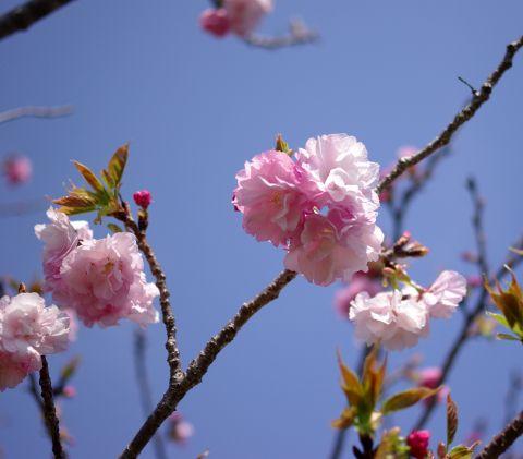 409_6Nadeshikosakura.jpg