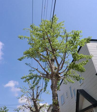 2014-5-19うちの前の街路樹②