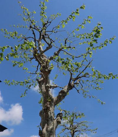 2014-5-19うちの前の街路樹③