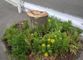 2014-6-14街路樹伐採供養④