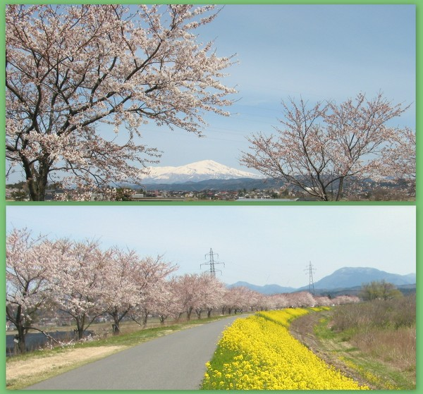 桜前線がやっと来ました。!!