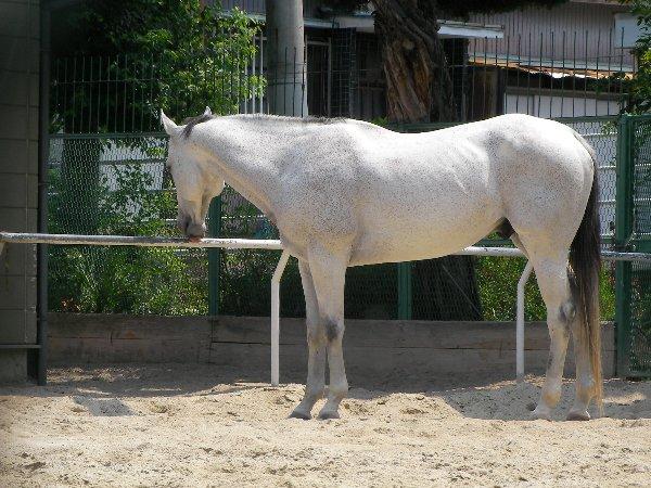 20140620石切白馬⑤