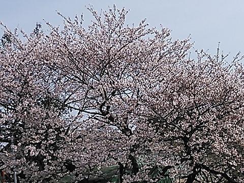 2014桜&つくし 016