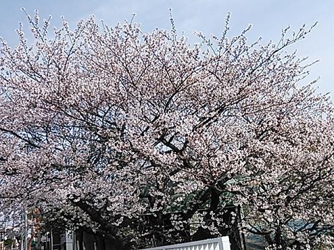2014桜&つくし 017