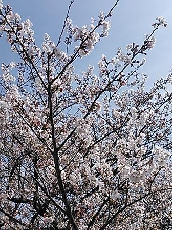 2014桜&つくし 018