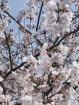 2014桜&つくし 019