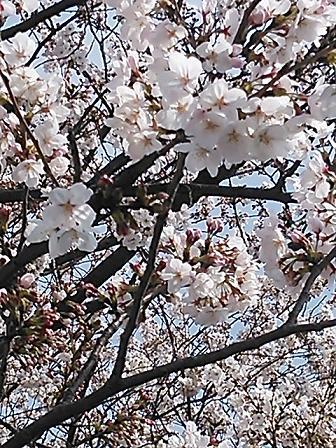 2014桜&つくし 020