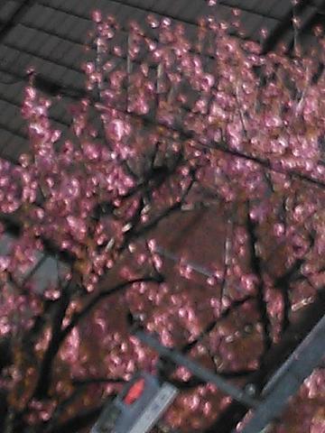 緑の桜 003