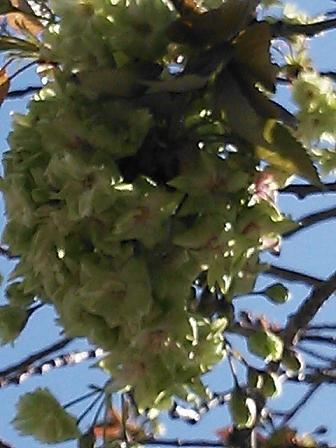 緑の桜 004