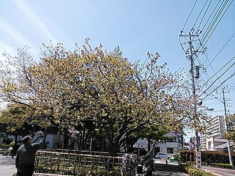 緑の桜 005