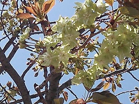 緑の桜 006