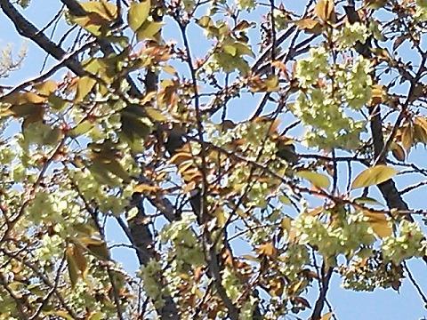 緑の桜 007