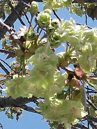 緑の桜 010