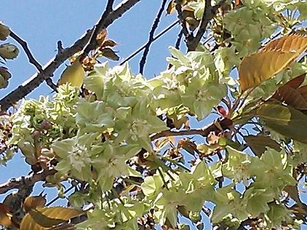 緑の桜 011