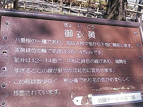 緑の桜 013