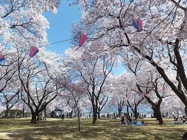 高台の桜2