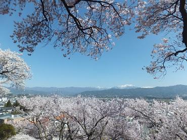 高台の桜3