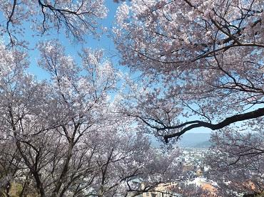 高台の桜4