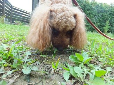 草を食べるチェリー