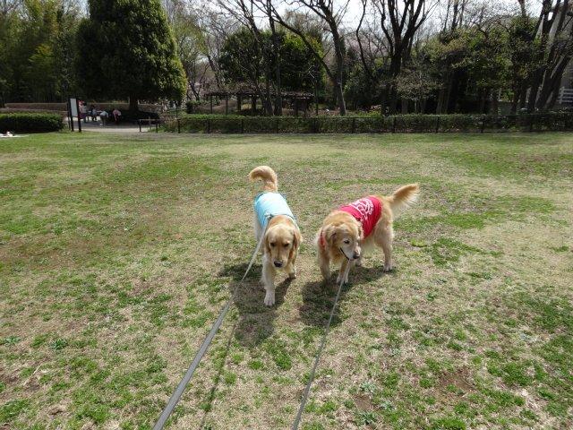 東高根森林公園 桜 2014-4-1 002